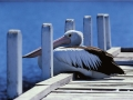 pelican-on-jetty