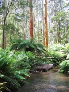 Gippsland Rainforest