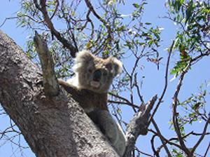Koala - Raymond Island