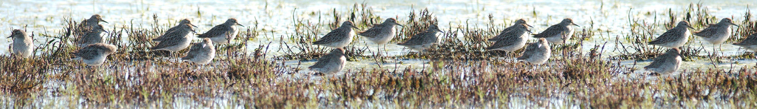 sandpiper-birds-header