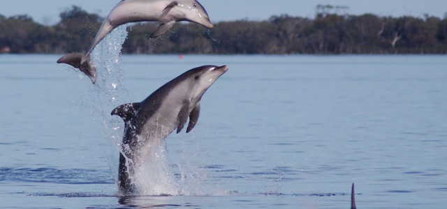 Dolphins enjoy a healthy Gippsland Lakes environment