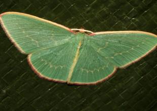 Moth, David Mules