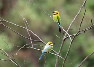 MV Grace Lewis bee-eaters