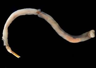 MV Leon Altis shipworm