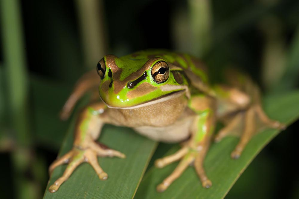 MV-Rodney-Start-green-and-golden-bell-frog