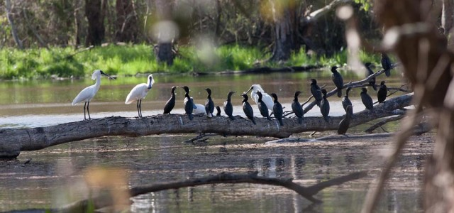 MV Rodney Start royal spoonbills and cormorants