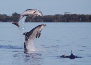 Burrunan Dolphins