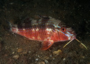 Upeneichthys vlamingii, Bluespotted Goatfish