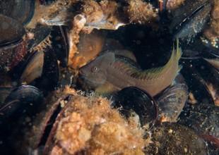 Omobranchus anolius, Oyster Blenny