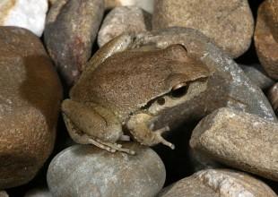 MV Patrick Honan rocky river tree frog - Litoria lesueuri 35