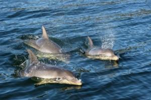 Dolphin calves