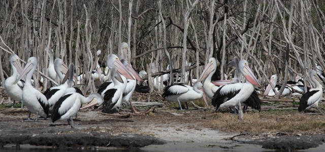 Pelicans_reduced size