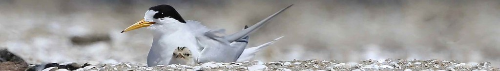 Header-fairy-tern