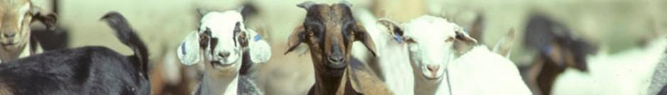 Header-feral-goats