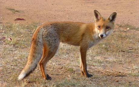 Fox - John Green