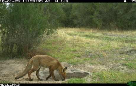 fox near bait station