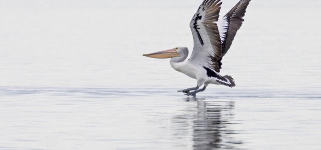 Pelican landing Tambo