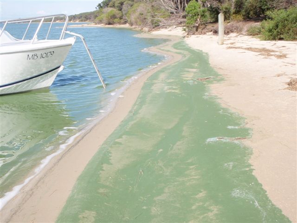 Blue-green algae scum