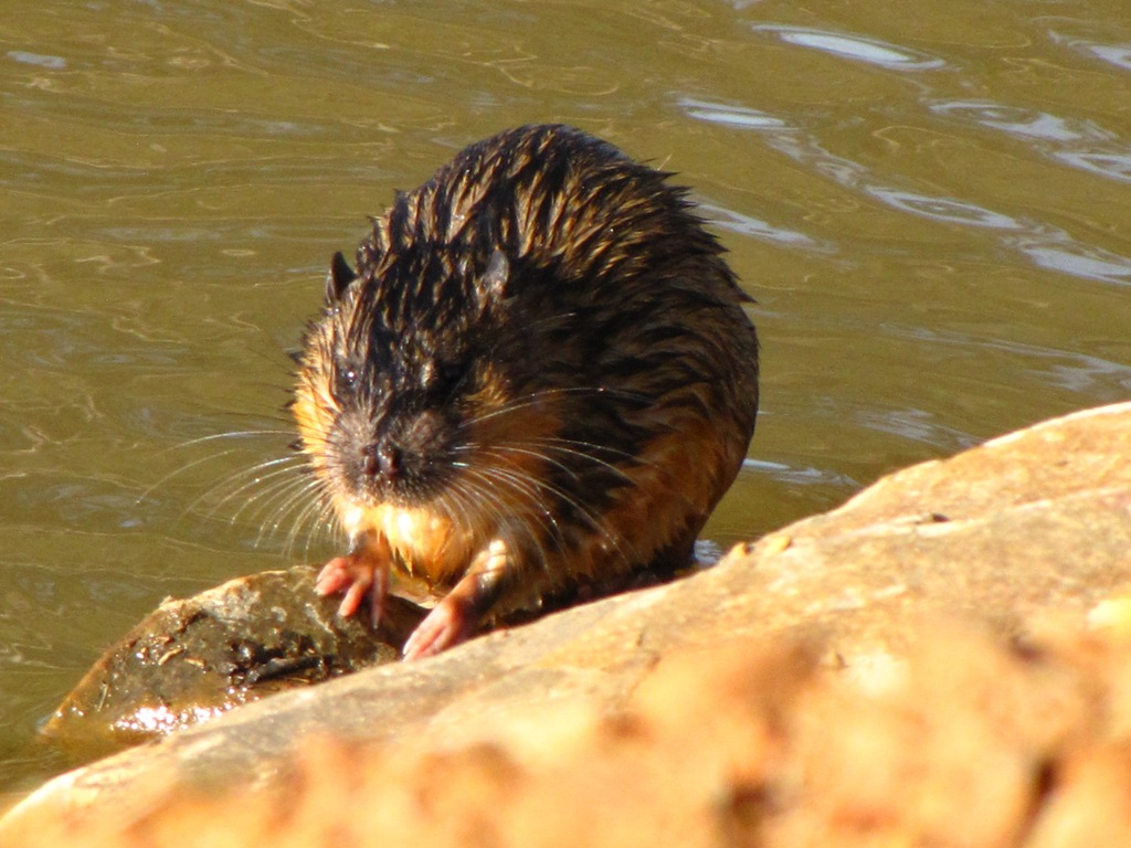 WaterRat-DHandley