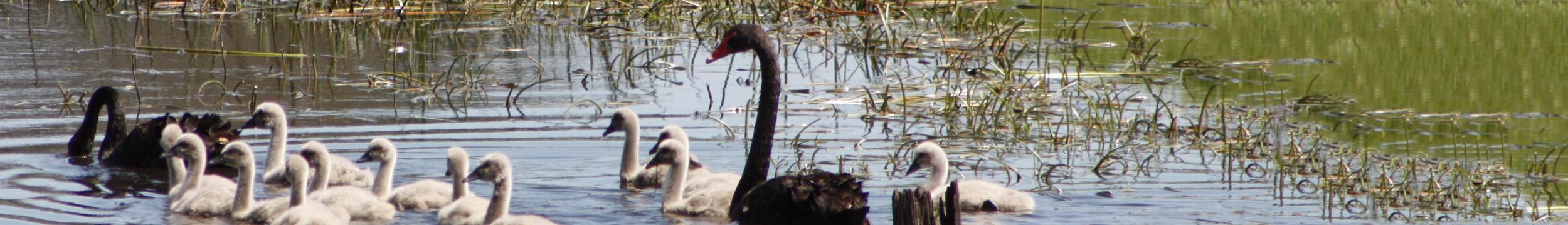 swan-header