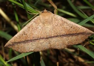 MV David Mules moth