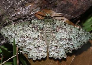 MV David Mules moth 4