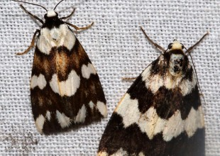 MV David Mules moth 6