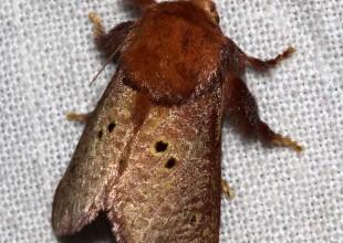 MV David Mules moth 9