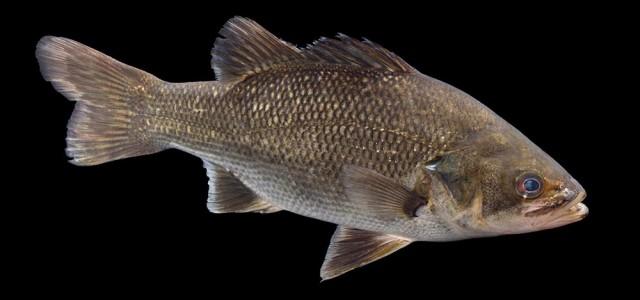 MV David Paul Australian Bass