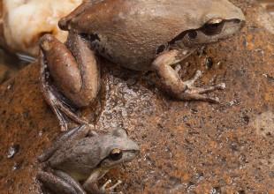 MV David Paul Rocky River Tree frog both sexes