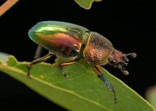 MV David Paul stag beetle
