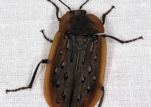 MV Grace Lewis beetle