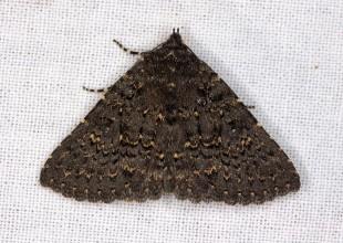 MV Grace Lewis moth 2