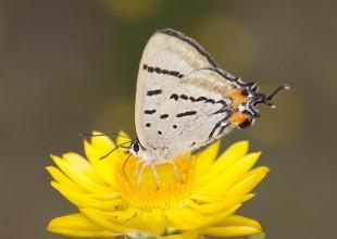 MV John Broomfield imperial blue butterfly