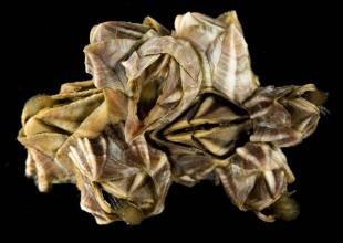MV Leon Altis barnacles
