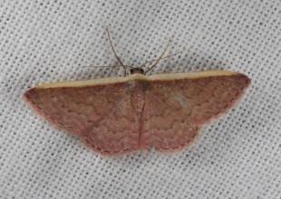 MV Marilyn Hewish moth 11
