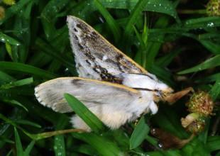 MV Marilyn Hewish moth 2