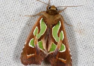 MV Marilyn Hewish moth 6