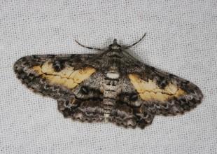 MV Marilyn Hewish moth 7