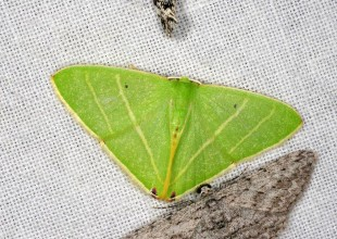 MV Marilyn Hewish moth new emerald for Victoria