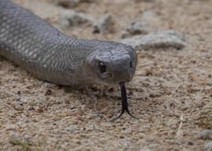 MV Mark Norman brown snake face