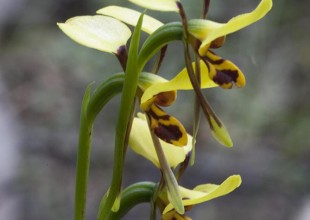 MV Mark Norman orchid