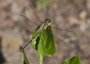 MV Mark Norman yellow dragonfly