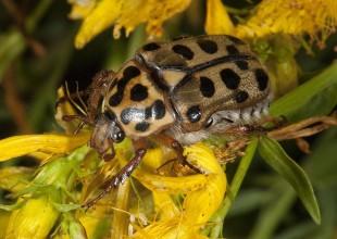 MV Patrick Honan beetle