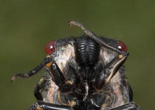 MV Patrick Honan cicada face 2