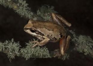 MV Patrick Honan whistling tree frog
