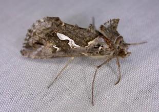 MV Peter Marriott moth 4