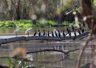MV Rodney Start royal spoonbills and cormorants