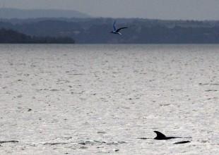 caspian_tern_and_dolphin