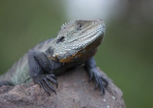 mv-mark-norman-male-water-dragon-head